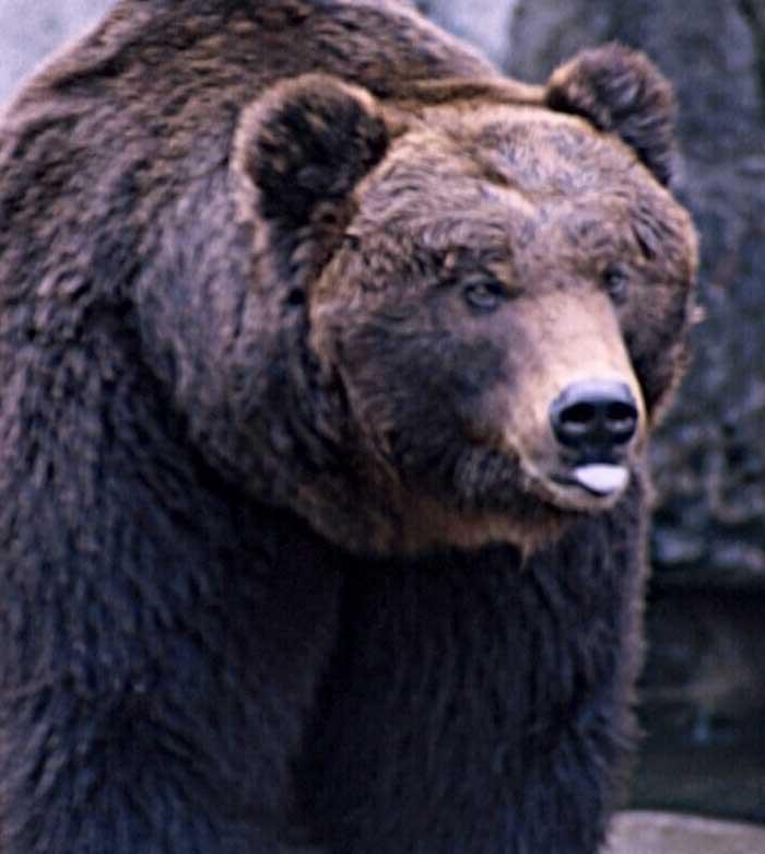 Állandó lakos lett Nógrádban a barna medve