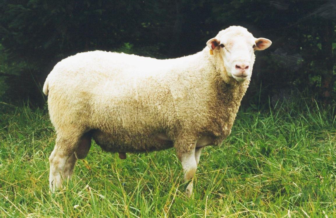 Nő a juhállomány, mind többen és többen foglalkoznak juhtartással Magyarországon