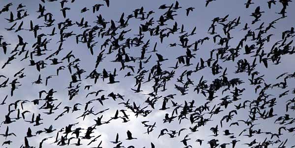 A trópusi betegségek elkerülésében is támogatja a madarakat a vándorlás