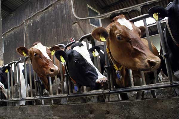 Szarvasmarha-takarmányt fejleszt a Hód-Mezőgazda Zrt. és a szegedi egyetem