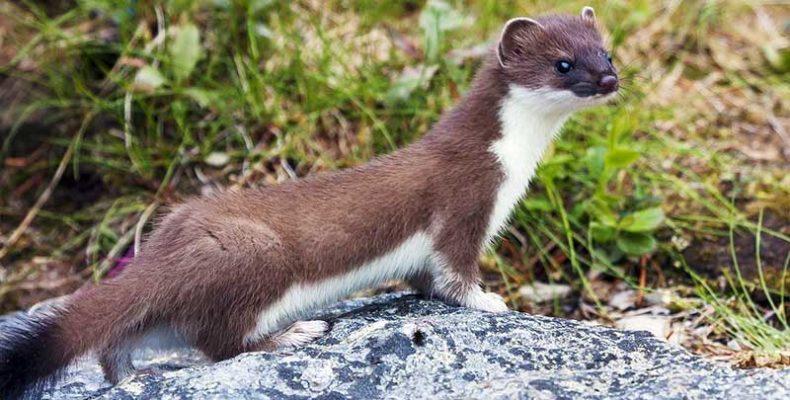 A hermelin lett az év emlőse