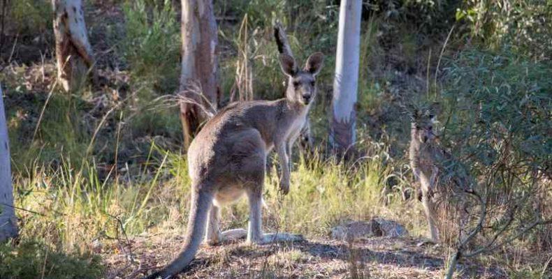 Egy már kihalt, fára mászó kengurufajt azonosítottak a tudósok