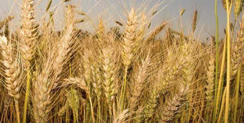 Nemesítéssel növelik a búza rostanyagtartalmát az ATK kutatói