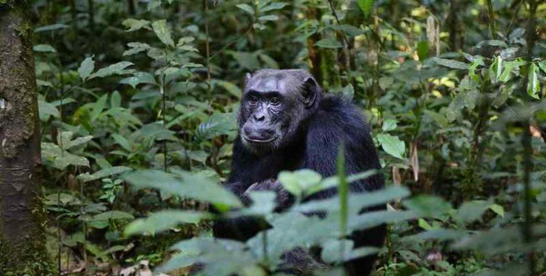 Nemzeti park létrehozásával akarják megmenteni a súlyosan veszélyeztetett csimpánzokat Guineában
