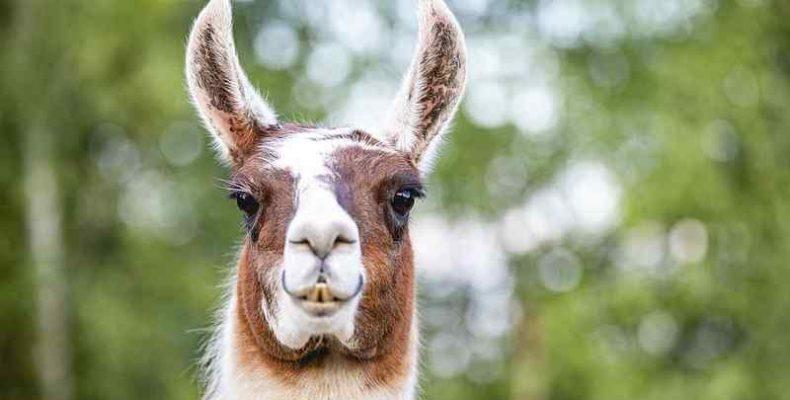 Tarka kancával gyarapodott a debreceni állatkert lámacsapata